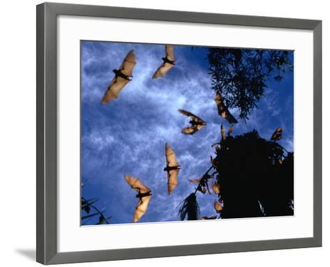 Flying Foxes (Bats) at Dusk, Mataranka, Australia-Regis Martin-Framed Art Print