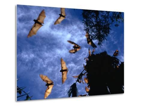 Flying Foxes (Bats) at Dusk, Mataranka, Australia-Regis Martin-Metal Print