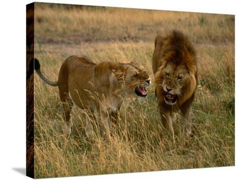 Lion and Lioness Growling at Each Other, Masai Mara National Reserve, Rift Valley, Kenya-Mitch Reardon-Stretched Canvas Print