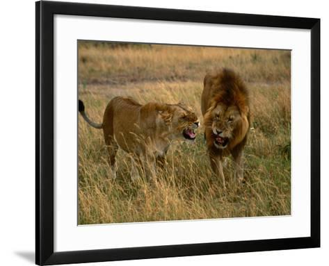 Lion and Lioness Growling at Each Other, Masai Mara National Reserve, Rift Valley, Kenya-Mitch Reardon-Framed Art Print