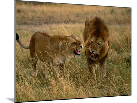Lion and Lioness Growling at Each Other, Masai Mara National Reserve, Rift Valley, Kenya-Mitch Reardon-Mounted Photographic Print