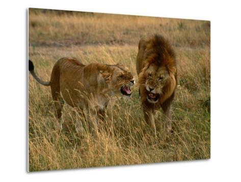 Lion and Lioness Growling at Each Other, Masai Mara National Reserve, Rift Valley, Kenya-Mitch Reardon-Metal Print