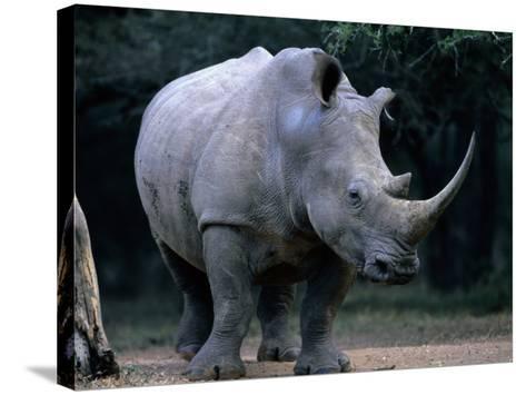 White Rhinoceros, Mkuzi Game Reserve, Mkuzi Game Reserve, Kwazulu-Natal, South Africa-Carol Polich-Stretched Canvas Print