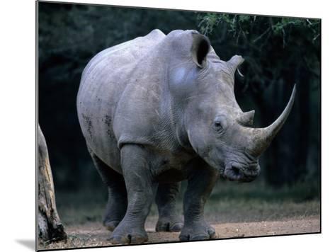 White Rhinoceros, Mkuzi Game Reserve, Mkuzi Game Reserve, Kwazulu-Natal, South Africa-Carol Polich-Mounted Photographic Print