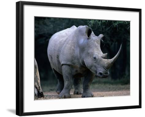 White Rhinoceros, Mkuzi Game Reserve, Mkuzi Game Reserve, Kwazulu-Natal, South Africa-Carol Polich-Framed Art Print