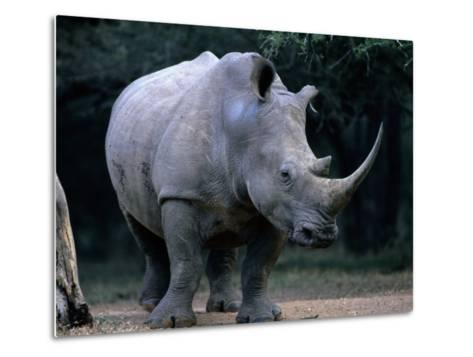White Rhinoceros, Mkuzi Game Reserve, Mkuzi Game Reserve, Kwazulu-Natal, South Africa-Carol Polich-Metal Print