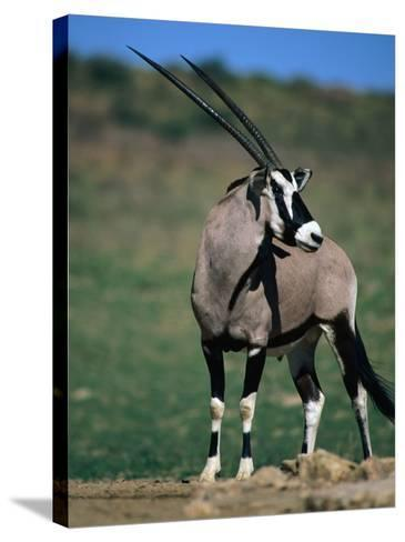 Gemsbok or South African Oryx, Kgalagadi Transfrontier Park, Northern Cape, South Africa-Carol Polich-Stretched Canvas Print