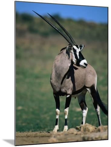 Gemsbok or South African Oryx, Kgalagadi Transfrontier Park, Northern Cape, South Africa-Carol Polich-Mounted Photographic Print