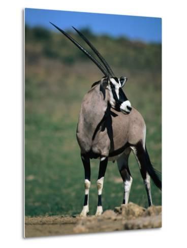 Gemsbok or South African Oryx, Kgalagadi Transfrontier Park, Northern Cape, South Africa-Carol Polich-Metal Print