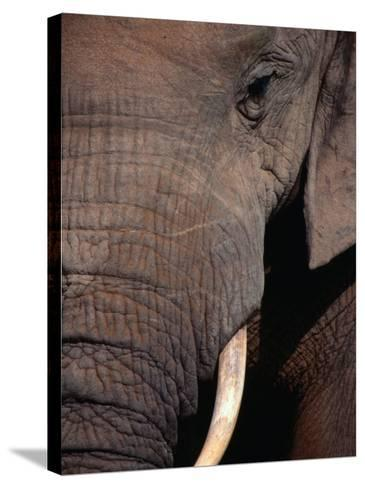 Tusk and Trunk Detail of an Elephant in the Addo Elephant Park,Eastern Cape, South Africa-Carol Polich-Stretched Canvas Print