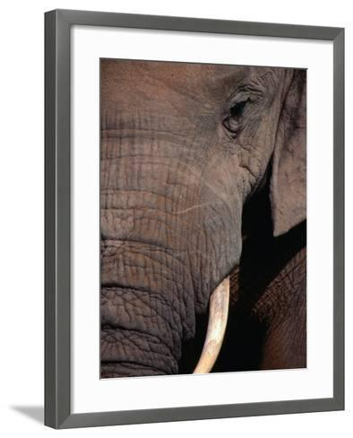 Tusk and Trunk Detail of an Elephant in the Addo Elephant Park,Eastern Cape, South Africa-Carol Polich-Framed Art Print