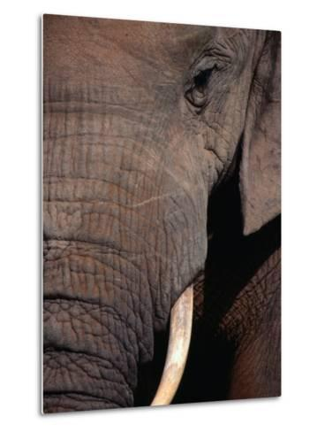 Tusk and Trunk Detail of an Elephant in the Addo Elephant Park,Eastern Cape, South Africa-Carol Polich-Metal Print