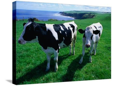 Cattle in Coastal Paddock Near Whitby, North York Moors National Park, England-Grant Dixon-Stretched Canvas Print