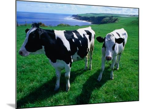 Cattle in Coastal Paddock Near Whitby, North York Moors National Park, England-Grant Dixon-Mounted Photographic Print