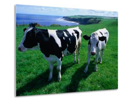 Cattle in Coastal Paddock Near Whitby, North York Moors National Park, England-Grant Dixon-Metal Print