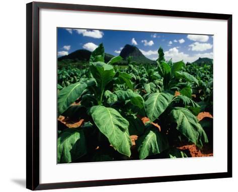 Tobacco Plants with Mountains Behind., Glass House Mountains, Queensland, Australia-John Banagan-Framed Art Print