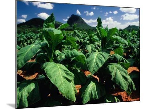 Tobacco Plants with Mountains Behind., Glass House Mountains, Queensland, Australia-John Banagan-Mounted Photographic Print