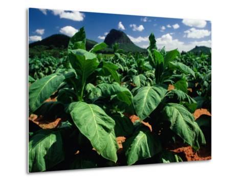 Tobacco Plants with Mountains Behind., Glass House Mountains, Queensland, Australia-John Banagan-Metal Print