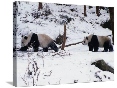 A Pair of Pandas(Ailuropoda Melanoleuca) in Snow, Wolong Ziran Baohuqu, Sichuan, China-Keren Su-Stretched Canvas Print