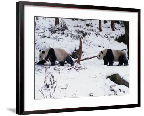 A Pair of Pandas(Ailuropoda Melanoleuca) in Snow, Wolong Ziran Baohuqu, Sichuan, China-Keren Su-Framed Art Print