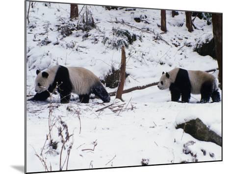 A Pair of Pandas(Ailuropoda Melanoleuca) in Snow, Wolong Ziran Baohuqu, Sichuan, China-Keren Su-Mounted Photographic Print