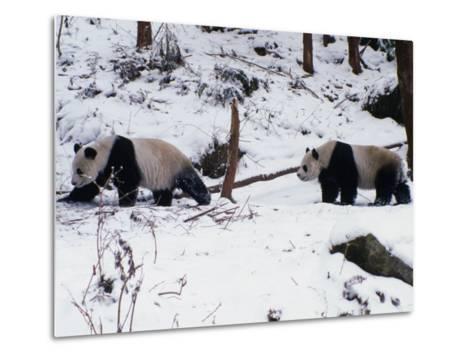 A Pair of Pandas(Ailuropoda Melanoleuca) in Snow, Wolong Ziran Baohuqu, Sichuan, China-Keren Su-Metal Print