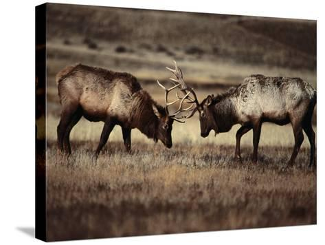 Sparring Bull Elk (Cervus Elaphus), Yellowstone National Park, Wyoming, USA-Carol Polich-Stretched Canvas Print