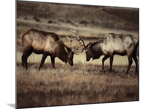Sparring Bull Elk (Cervus Elaphus), Yellowstone National Park, Wyoming, USA-Carol Polich-Mounted Photographic Print