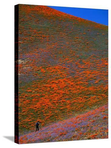 A Photographer Surrounded by California Poppies in the Hills of Gorman, California, USA-Jan Stromme-Stretched Canvas Print