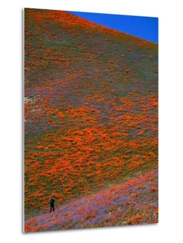 A Photographer Surrounded by California Poppies in the Hills of Gorman, California, USA-Jan Stromme-Metal Print