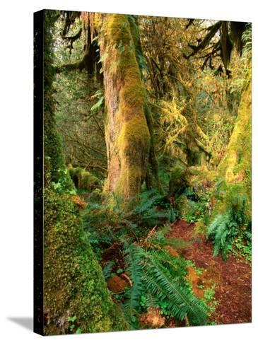 Hall of Mosses Trail, Olympic National Park, Washington, USA-Stephen Saks-Stretched Canvas Print