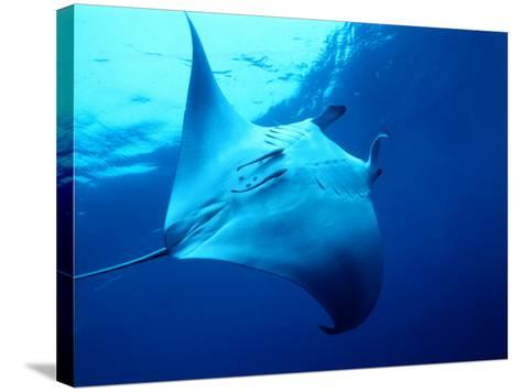 Underside of Manta Ray Between Batteaux Bay and Little Tobago Island, Trinidad & Tobago-Michael Lawrence-Stretched Canvas Print