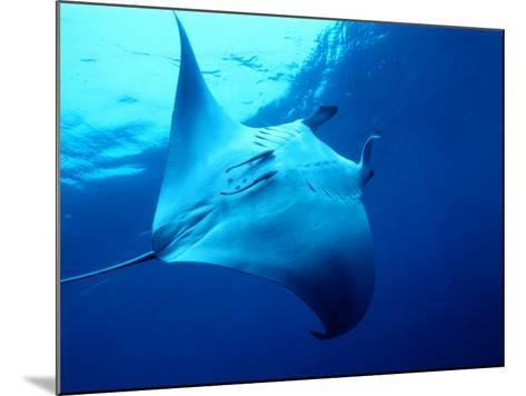 Underside of Manta Ray Between Batteaux Bay and Little Tobago Island, Trinidad & Tobago-Michael Lawrence-Mounted Photographic Print
