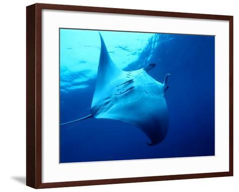 Underside of Manta Ray Between Batteaux Bay and Little Tobago Island, Trinidad & Tobago-Michael Lawrence-Framed Art Print