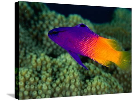 Fairy Basslet (Gramma Loreto), South of Prince Rupert Bay, Portsmouth, Portsmouth, Dominica-Michael Lawrence-Stretched Canvas Print