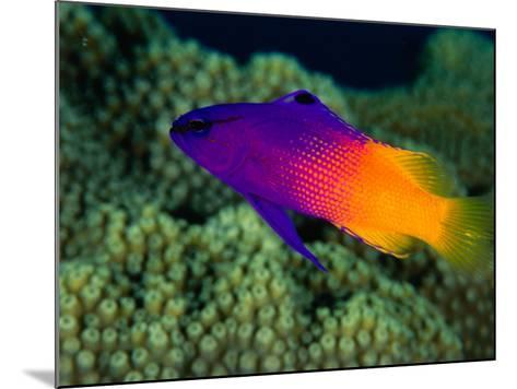 Fairy Basslet (Gramma Loreto), South of Prince Rupert Bay, Portsmouth, Portsmouth, Dominica-Michael Lawrence-Mounted Photographic Print