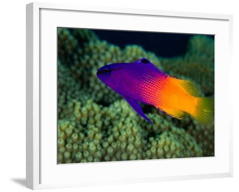 Fairy Basslet (Gramma Loreto), South of Prince Rupert Bay, Portsmouth, Portsmouth, Dominica-Michael Lawrence-Framed Art Print