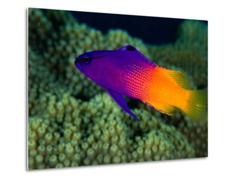 Fairy Basslet (Gramma Loreto), South of Prince Rupert Bay, Portsmouth, Portsmouth, Dominica-Michael Lawrence-Metal Print