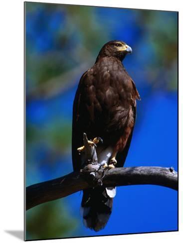 Harris Hawk (Parabuteo Unicintus), Perquin, El Salvador-Alfredo Maiquez-Mounted Photographic Print