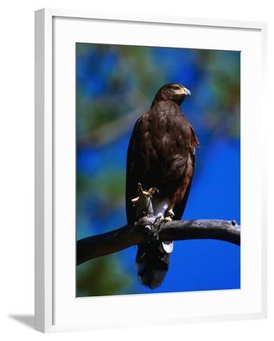 Harris Hawk (Parabuteo Unicintus), Perquin, El Salvador-Alfredo Maiquez-Framed Art Print