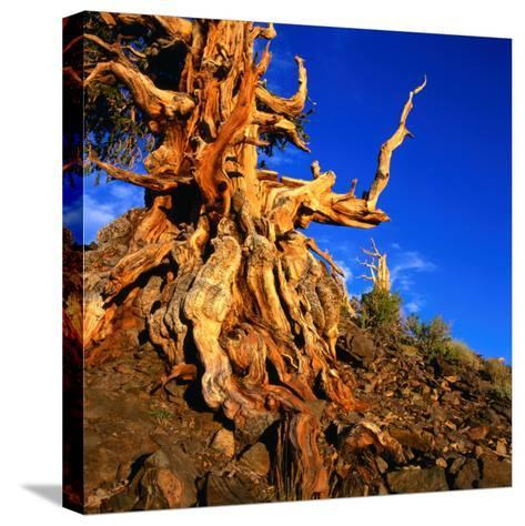 Gnarled Roots and Trunk of Bristlecone Pine, White Mountains National Park, USA-Wes Walker-Stretched Canvas Print