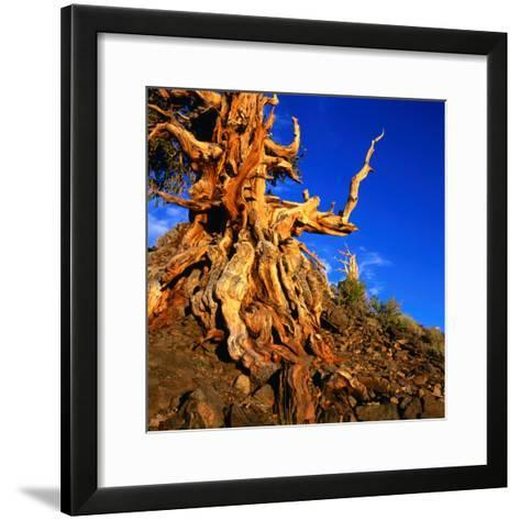 Gnarled Roots and Trunk of Bristlecone Pine, White Mountains National Park, USA-Wes Walker-Framed Art Print