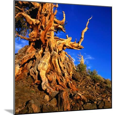Gnarled Roots and Trunk of Bristlecone Pine, White Mountains National Park, USA-Wes Walker-Mounted Photographic Print