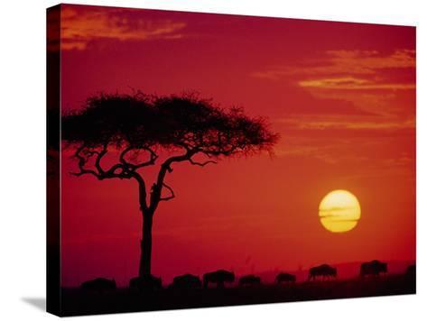 Wildebeest Migration, Masai Mara, Kenya-Dee Ann Pederson-Stretched Canvas Print