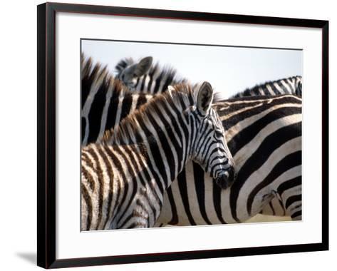 Black and White Stripe Pattern of a Plains Zebra Colt, Kenya-William Sutton-Framed Art Print