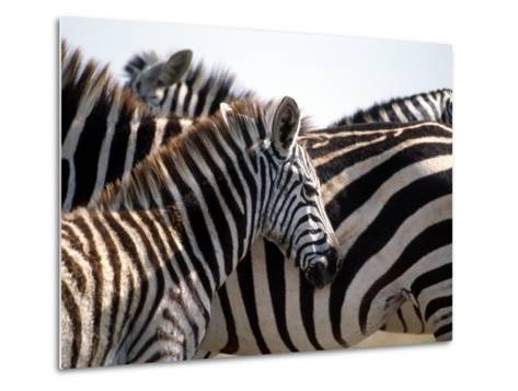 Black and White Stripe Pattern of a Plains Zebra Colt, Kenya-William Sutton-Metal Print