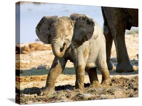 Baby African Elephant in Mud, Namibia-Joe Restuccia III-Stretched Canvas Print