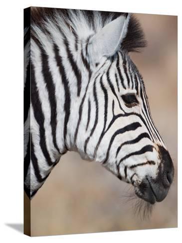 Burchell's Zebra, Etosha National Park, Namibia-Michele Westmorland-Stretched Canvas Print