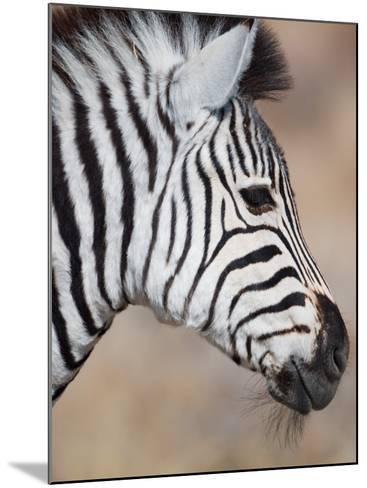 Burchell's Zebra, Etosha National Park, Namibia-Michele Westmorland-Mounted Photographic Print