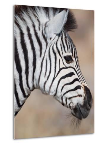 Burchell's Zebra, Etosha National Park, Namibia-Michele Westmorland-Metal Print